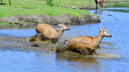 Two female Père David's deer running through water