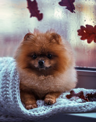 Pomeranian dog sits by the window and wrapped up in a blanket. Rain outside the window