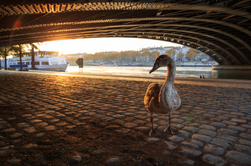 Young swan under a bridge in Lyon on a sunny, autumn day. Shallow focus.