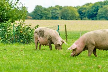 Pigs graze on farm. Pig on green field
