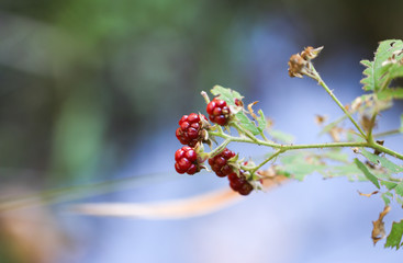 Wild blackberry branch in forest. Unripe red blackbarryes.