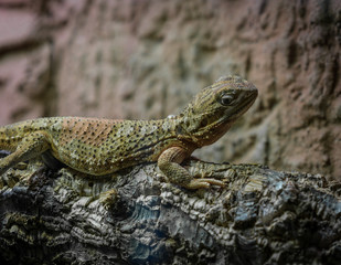 The lizard on a branch in zoological garden