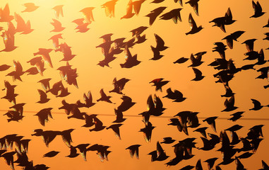 A flock of common starlings flies in the evening red light