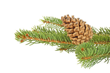 Fir tree with pine-cone isolated on white background