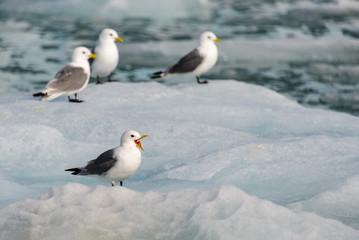 Seagull with open beak on the ice