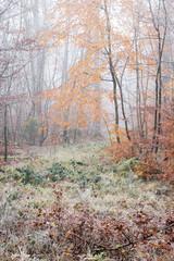 Herbstliche Rotbuchen mit Reif im Nebelwald