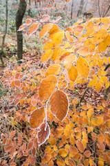 Leuchtendes Rotbuchenlaub im Spätherbst/Nov mit Reif