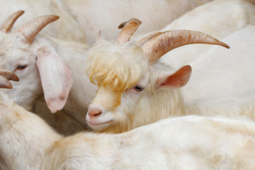 Saanen goat : A famous domestic goat breed for milk producer from Switzerland