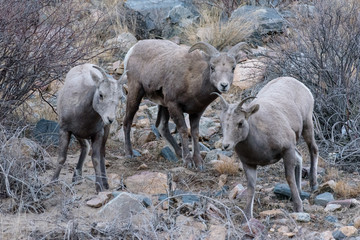 Colorado Rocky Mountain Bighorn Sheep