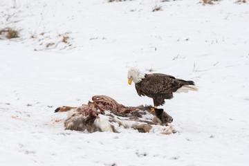 Fotoväggar - Bald Eagle on a Deer Carcass in the Winter