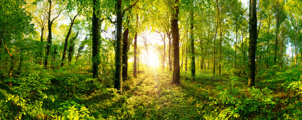 Beautiful forest panorama with bright sun