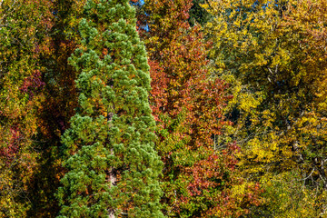 One tall green evergreen bush among the fall color of deciduous trees as a background