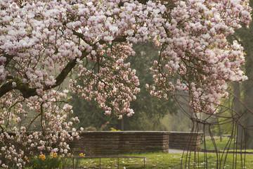 Magnolien (Magnolia) in voller Blüte