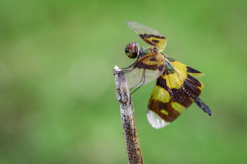 Image of a rhyothemis phyllis dragonflies on a tree branch. Insect. Animal