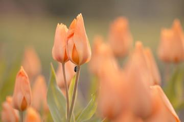 Orange Tulpen (Tulipa) im Feld mit weichem Hintergrund und Käfer