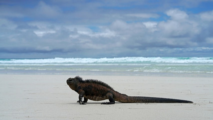 Marine Iguana on his morning walk after foraging in the sea