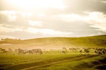Staande foto Heuvel Mongolia flock