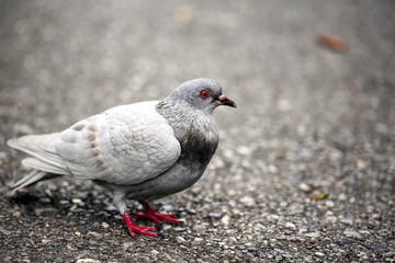 Close up with Gray pigeons