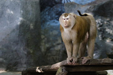 Image of Pig-tailed Macaque monkeys on nature background. Wildlife Animals.