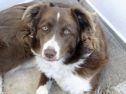 Border Collie Marron Y Blanco Stock Photo And Royalty Free Images
