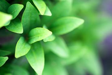 Closeup nature view of green leaf in garden at summer under sunlight.
