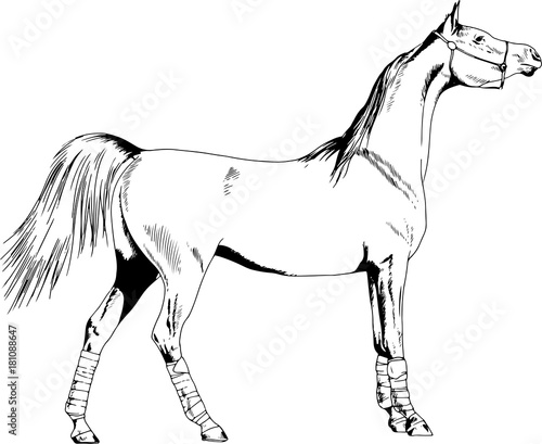 Race Horse Without A Harness Drawn In Ink By Hand On White