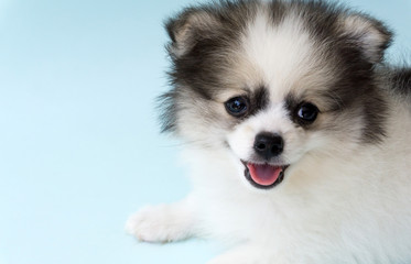 Closeup face of puppy pomeranian age 2 month with light blue background, dog healthy concept