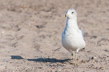 Seagull close up portrait