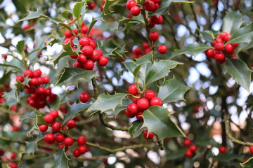 Ilex, or holly, It is a genus of small, evergreen trees with smooth, glabrous, or pubescent branchlets. The plants are generally slow-growing