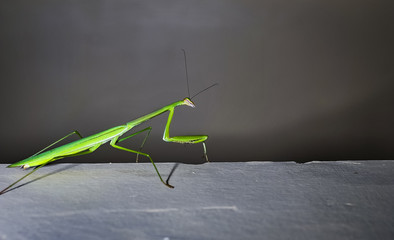 Praying mantis on the wall close up