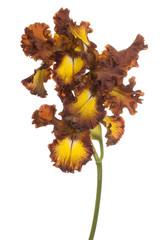 iris flower isolated