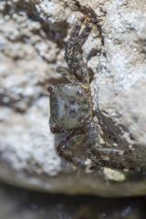 Krebs / Krabbe versteckt sich essend in Steinritze