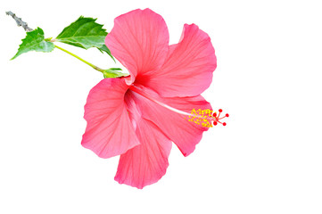 hibiscus flower isolated on white background. Free space for text.