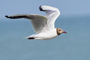 White seagull in flight