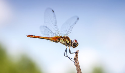 Dragonfly rests on a twig near the ocean, Thailand
