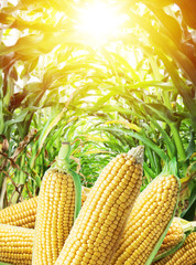 Ears of maize or corn in the sunlight. Nature background.