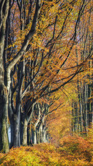 ROADSIDE TREES - Avenue beech in autumn colors