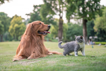 Golden Retrievers and kittens on the grass