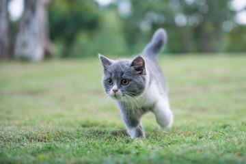 gray British shorthair cats, outdoor grass