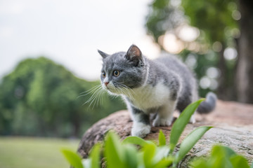British short hair cat, on stone