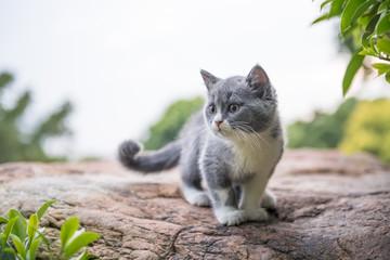 British short hair cat, on stone