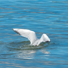 Gull, white bird diving and fishing with spread wings, head in the water
