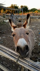 cute donkey close up