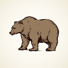 Bear. Vector drawing