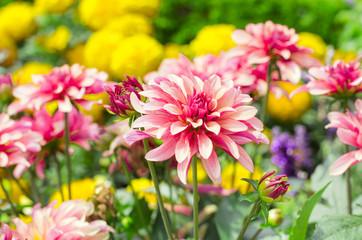 Keuken foto achterwand Dahlia Kunterbunte Blumen, als Schnittblumen, Strauss und im Garten