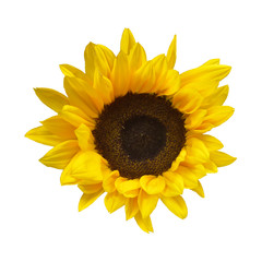 Flower of a decorative sunflower. Isolated on white background, square frame