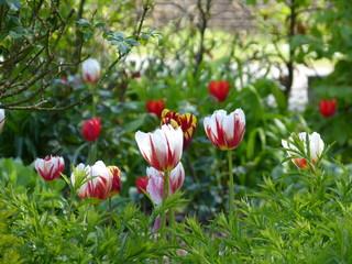 Fototapeten Tulpen Tulp - tulps - Tulpen - in farm garden in Krummhörn Ostfriesland North Sea Nordsee ... :-)
