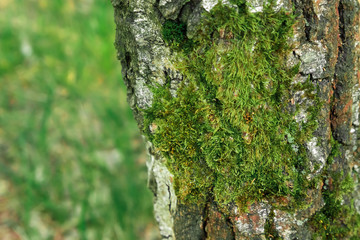 Detail view of some green moss and little plants on the bark of a tree.