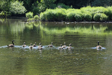 Family of Canada geese (branta canadensis)
