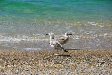Young seagulls on beach